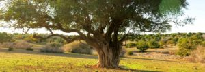 arbre essaouira maroc